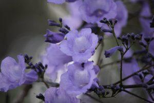 Las flores del jacarandá son lilas o blancas