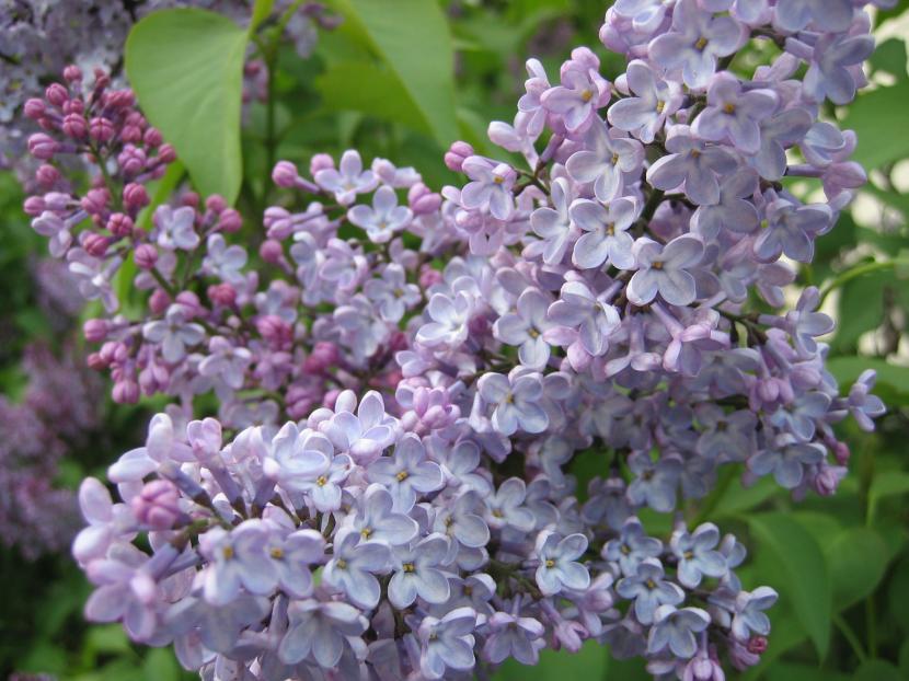 Rboles peque os para jard n for Jardin lilo