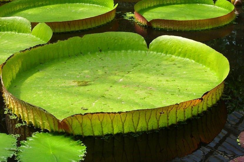 Victoria amazónica