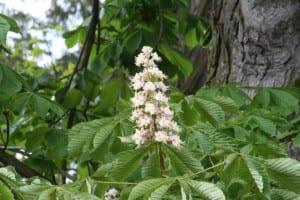 Flores del Aesculus hippocastanum