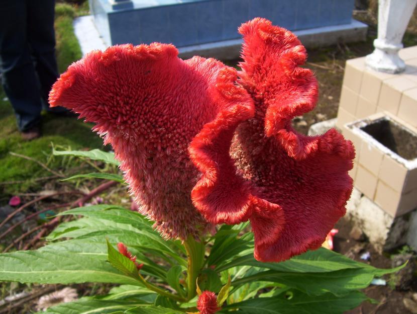 Celosia argentea v. cristata