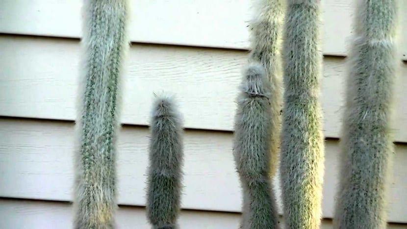 Cactus Antorcha de plata