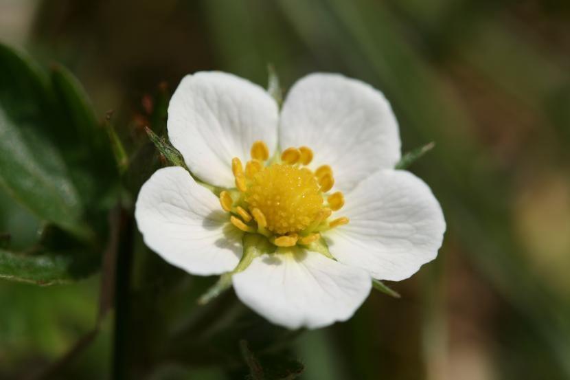 Flor de Fragaria vesca
