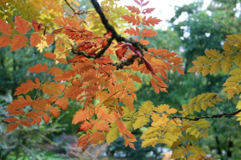 Vista de las hojas de la Koelreuteria paniculata en otoño
