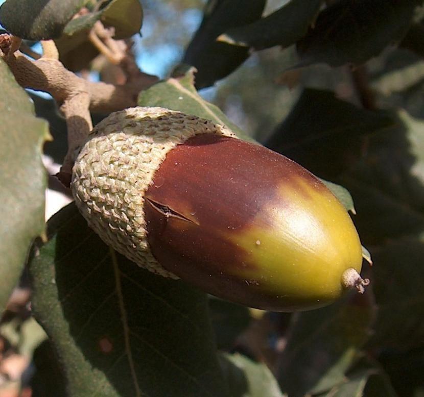 Vista del fruto del alcornoque