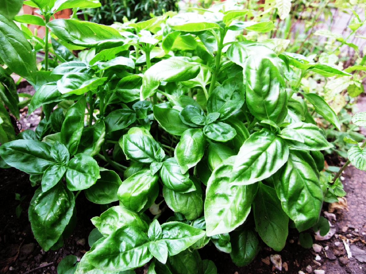 La albahaca es una planta de fácil cultivo