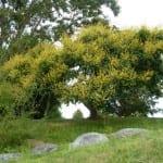 Árbol de Koelreuteria en flor