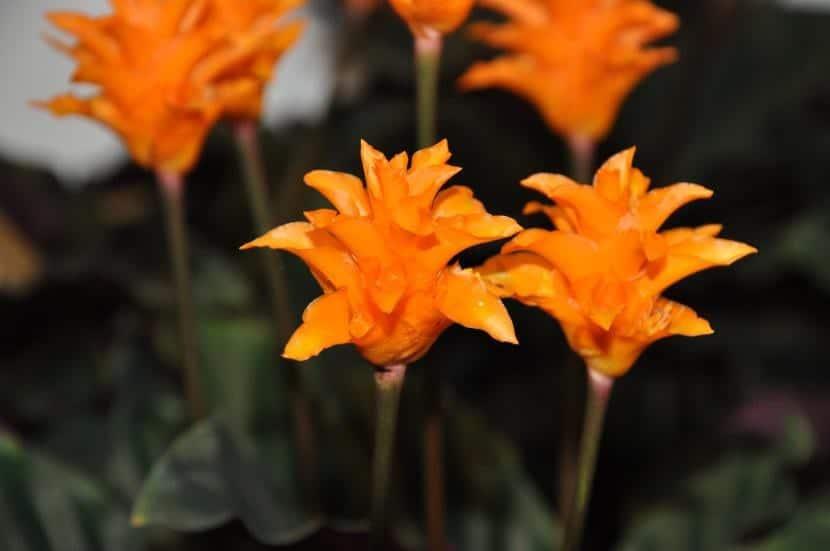 Calathea crocata en flor