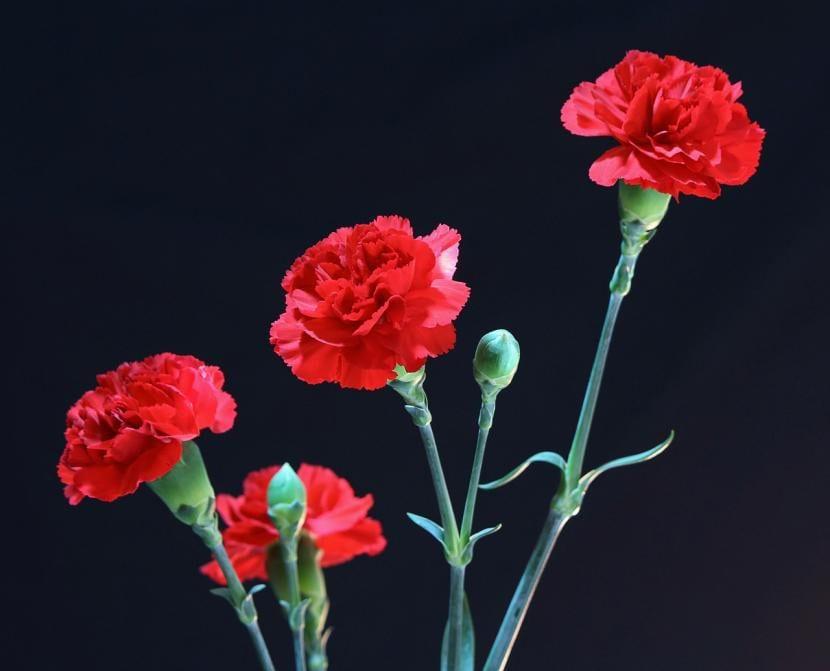 Planta de claveles rojos