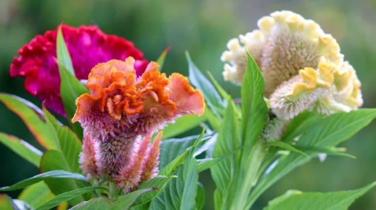 La cresta de gallo es una hierba de flores curiosas