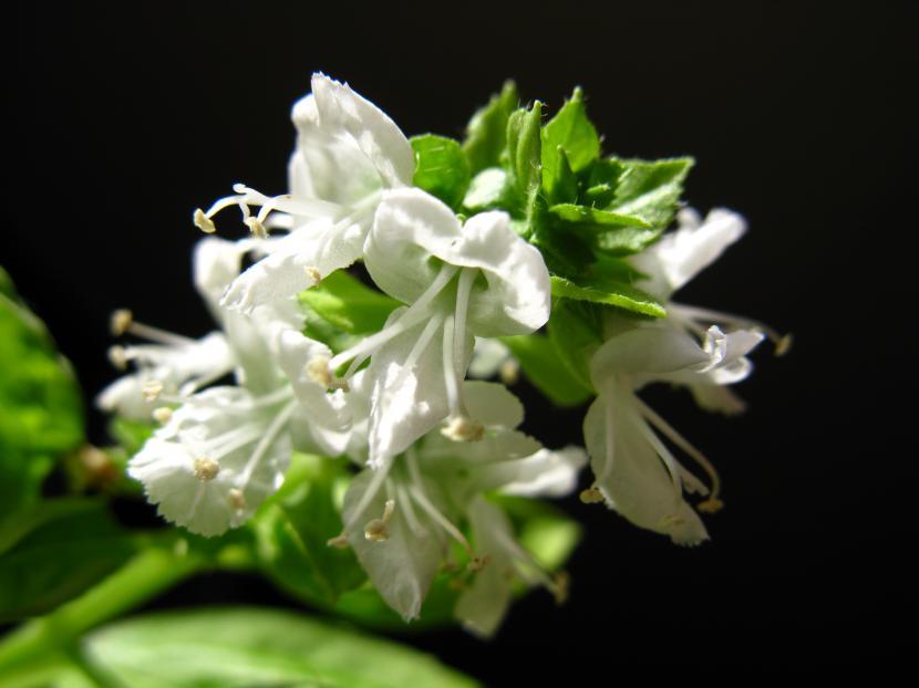 Flor de Ocimum basilicum