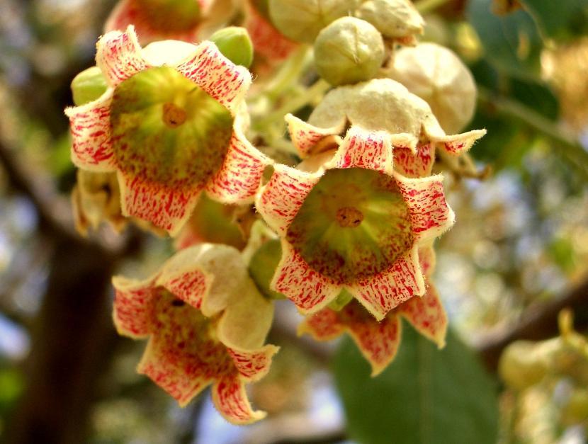 Flores de Brachychiton populneus