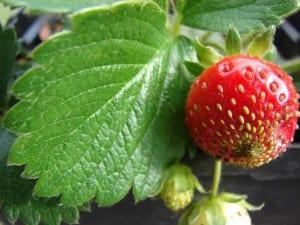 Fresas en la planta