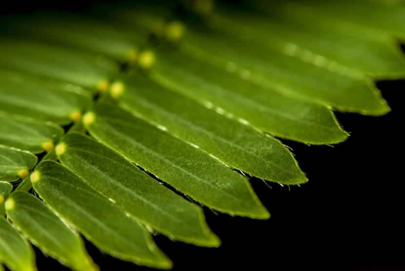 Hoja de Mimosa pudica