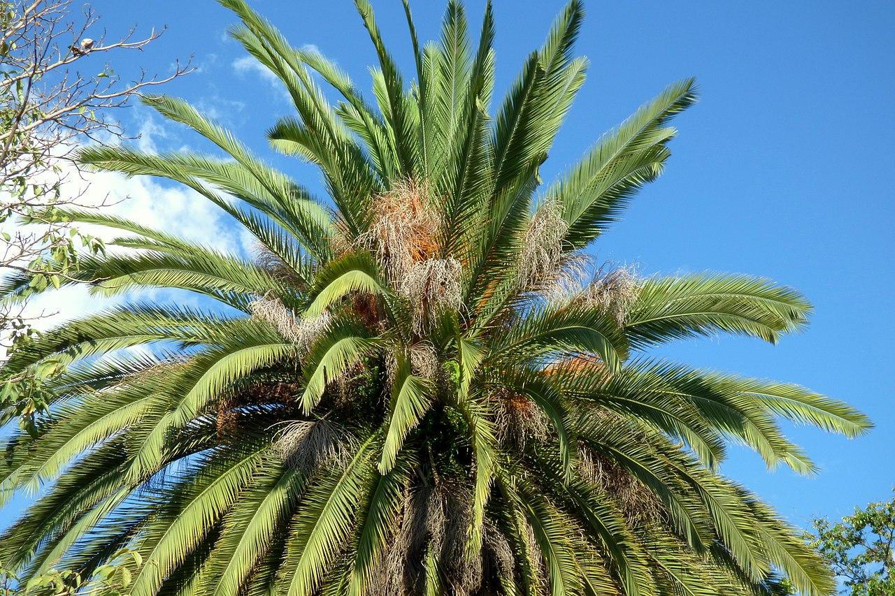 Las hojas de la palmera canaria son largas