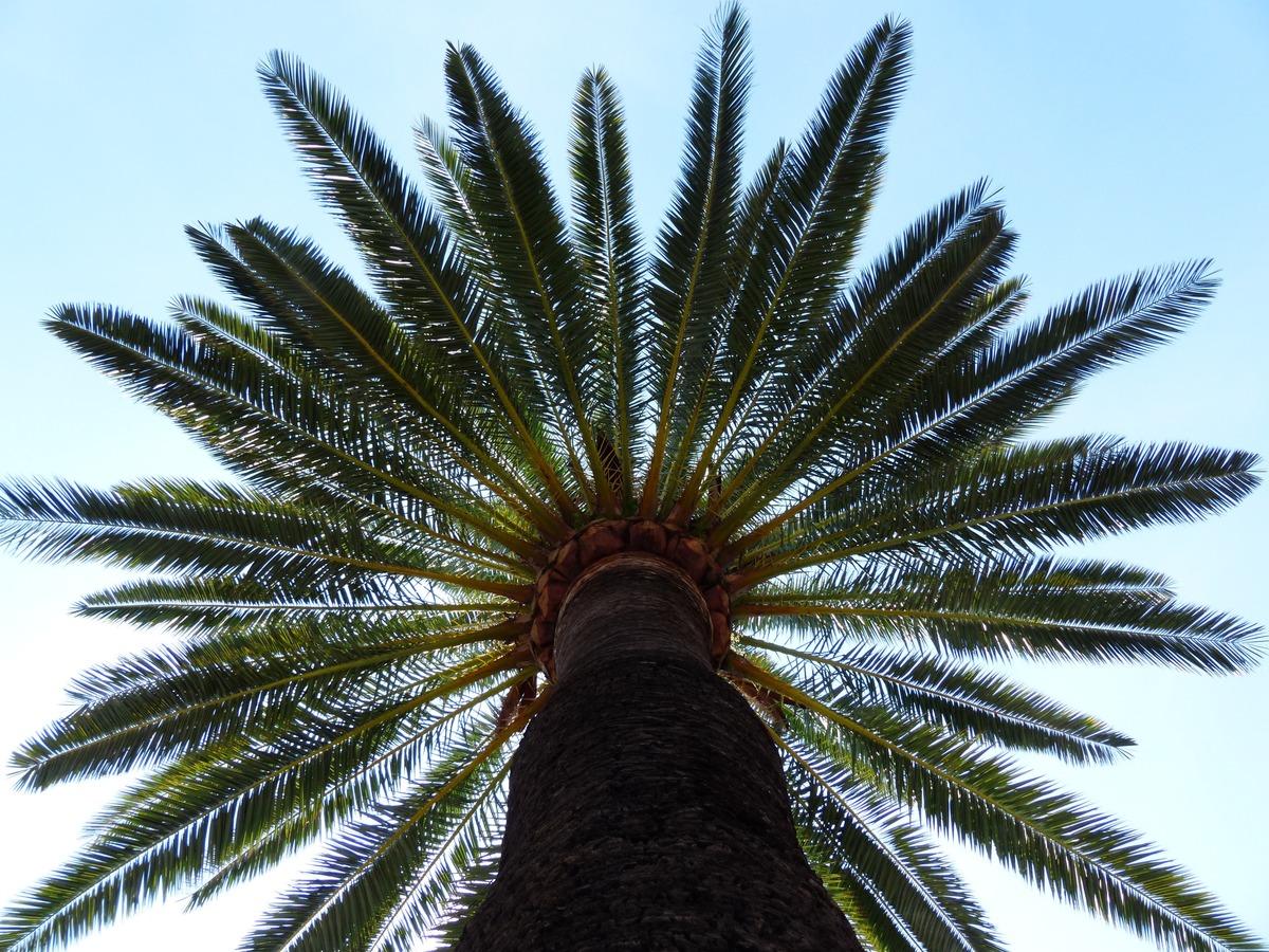 Las hojas de la palmera canaria son pinnadas