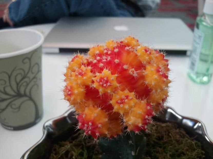 Injerto de cactus