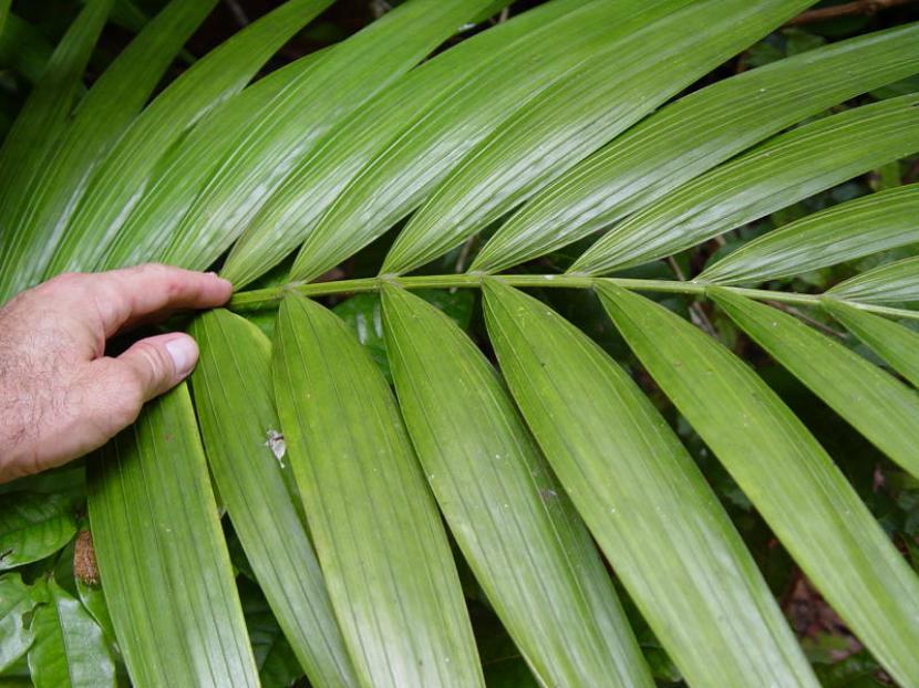 C mo trasplantar las palmeras de interior - Plantas de interior palmeras ...