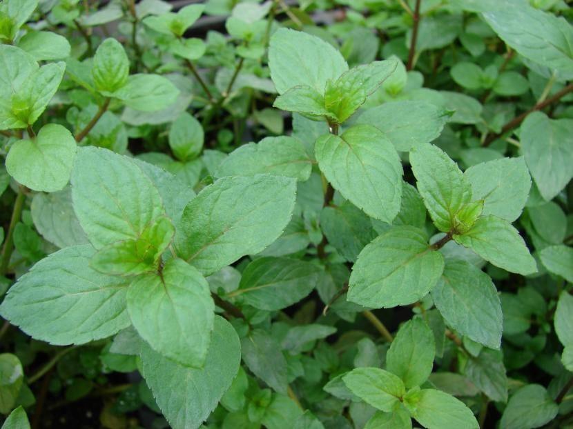 Planta de Mentha x piperita