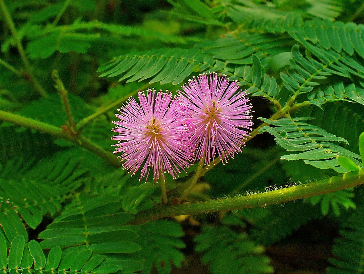 La Mimosa pudica produce flores en primavera