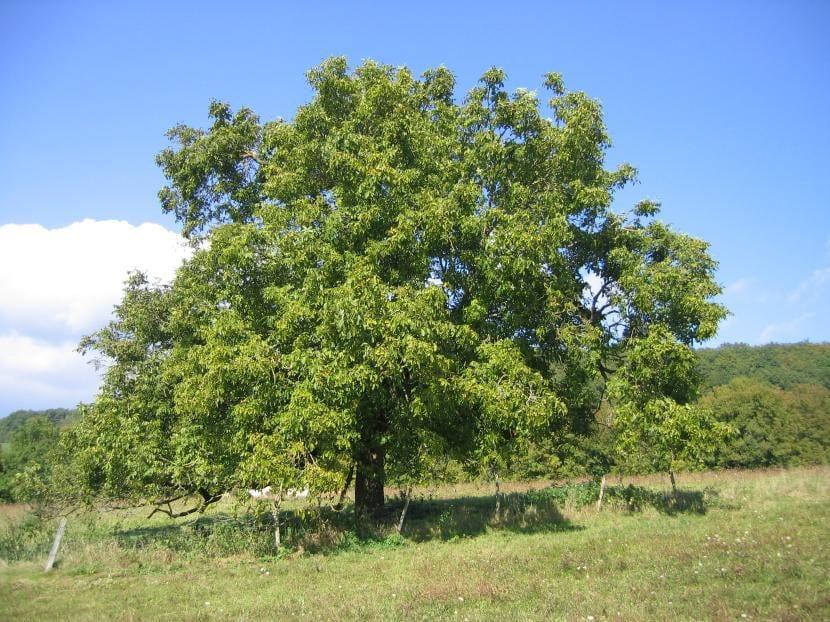Nogal o Juglans regia, el árbol de las nueces