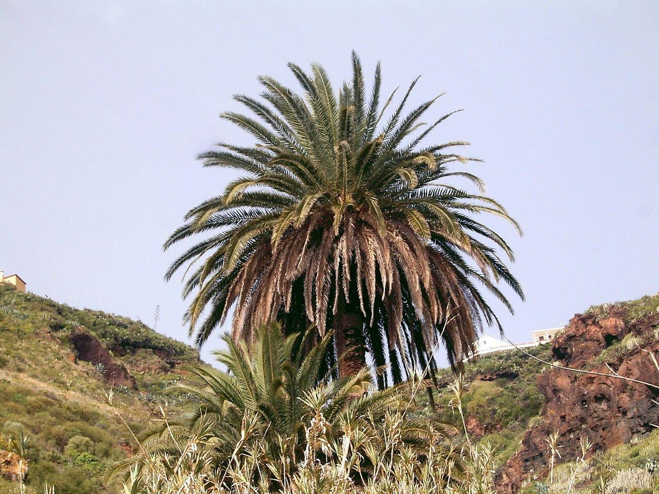 La palmera canaria es unicaule