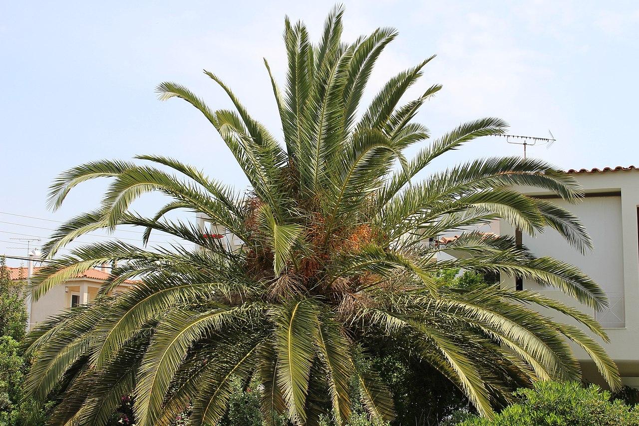 La palmera canaria crece rápido