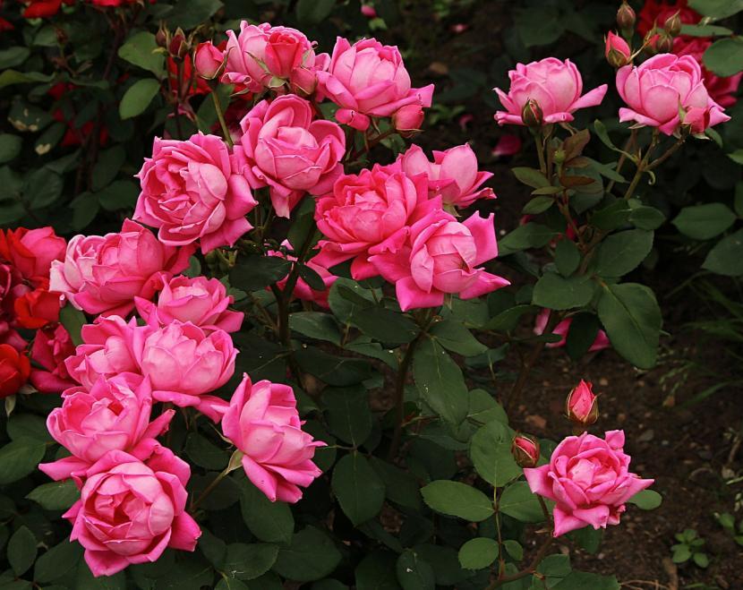 Arbustos con flor para jard n - Arbustos perennes con flor ...