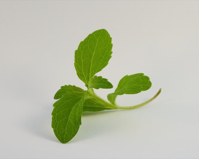 Tallo de Stevia rebaudiana