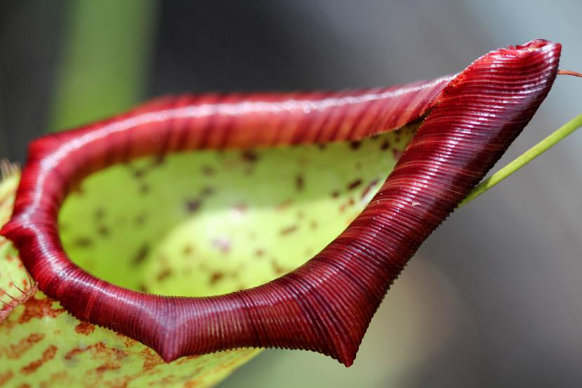 Trampa de Nepenthes