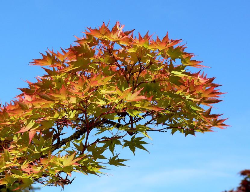 Acer palmatum ''Shigitatsu-sawa''