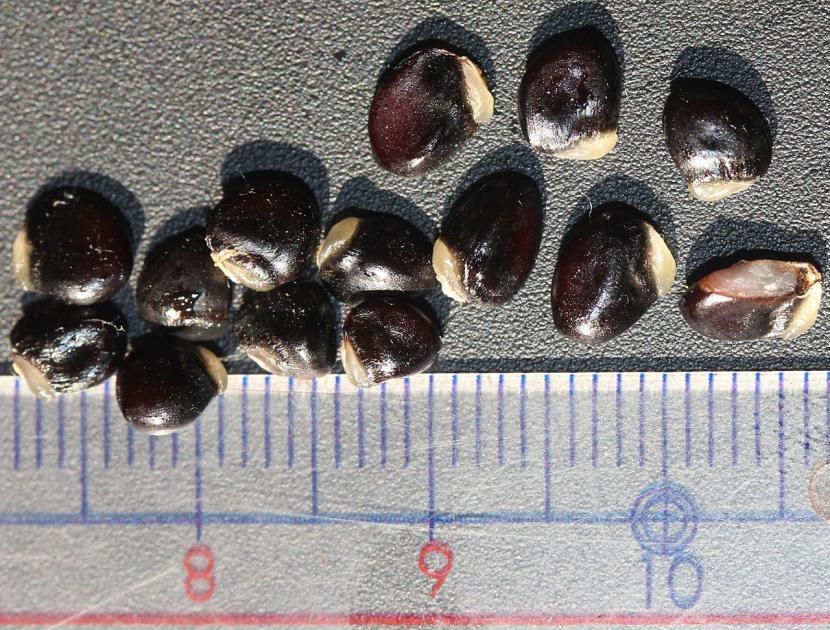 Semillas de Akebia quinata