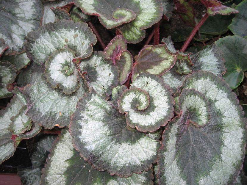 Ejemplar de Begonia rex 'Escargot'