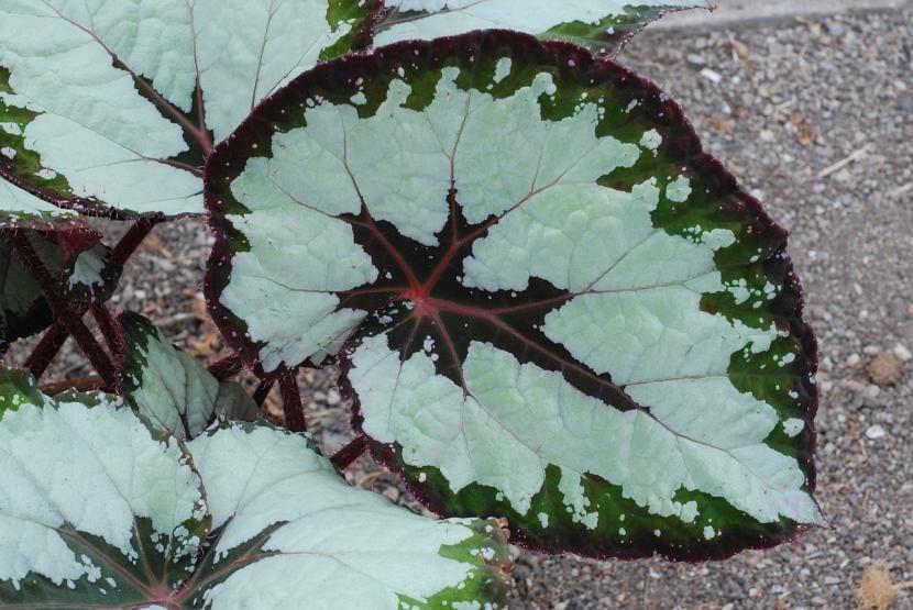 Ejemplar de Begonia rex 'J. Gillinwators'
