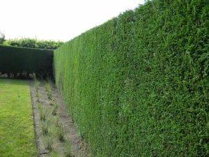 El leylandi es una planta ideal para seto
