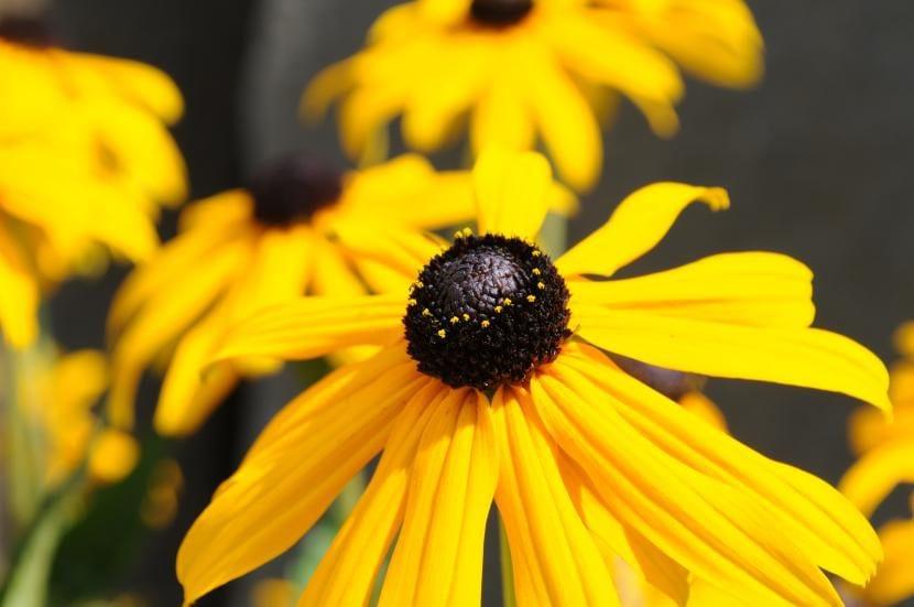 Rudbeckia hirta en flor