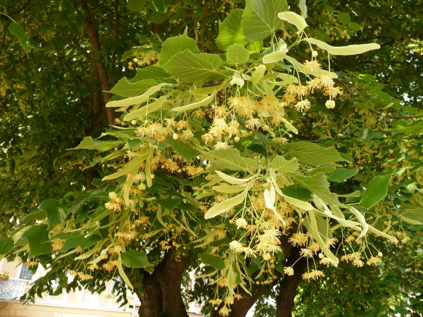Flores de Tilia platyphyllos