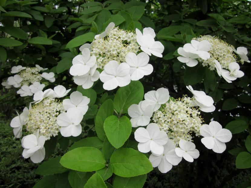Viburnum macrocephalum f. keteleeri