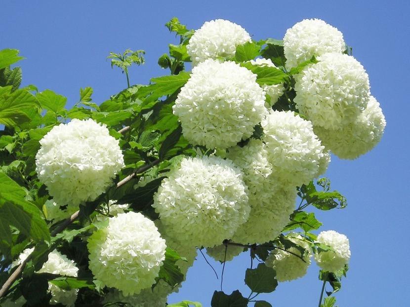 11 arbustos con flor para jard n o maceta - Arbustos perennes con flor ...
