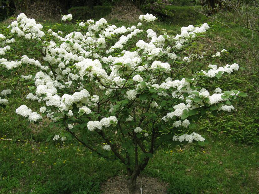 Viburnum plicatum var plicatum