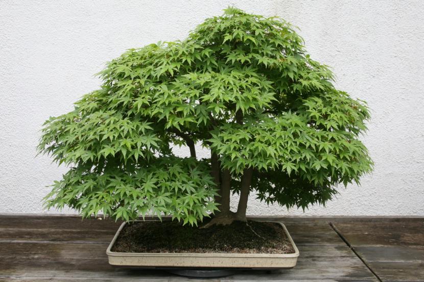 Bonsái de Acer palmatum