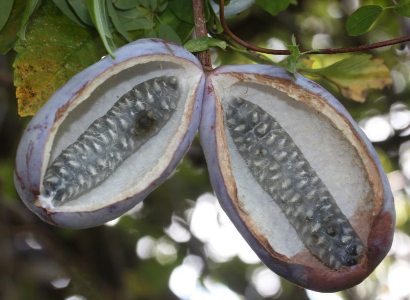 Akebia frutos