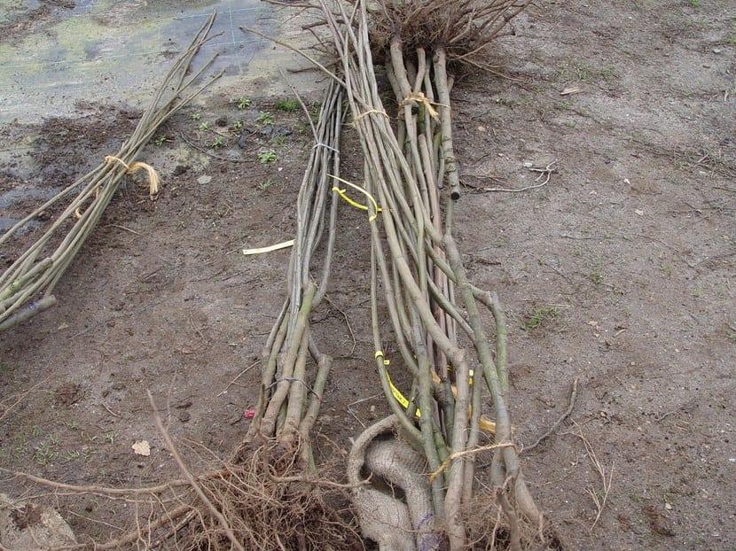 Plantar árbol a raíz desnuda