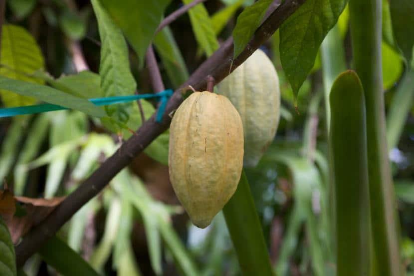Árbol cacao