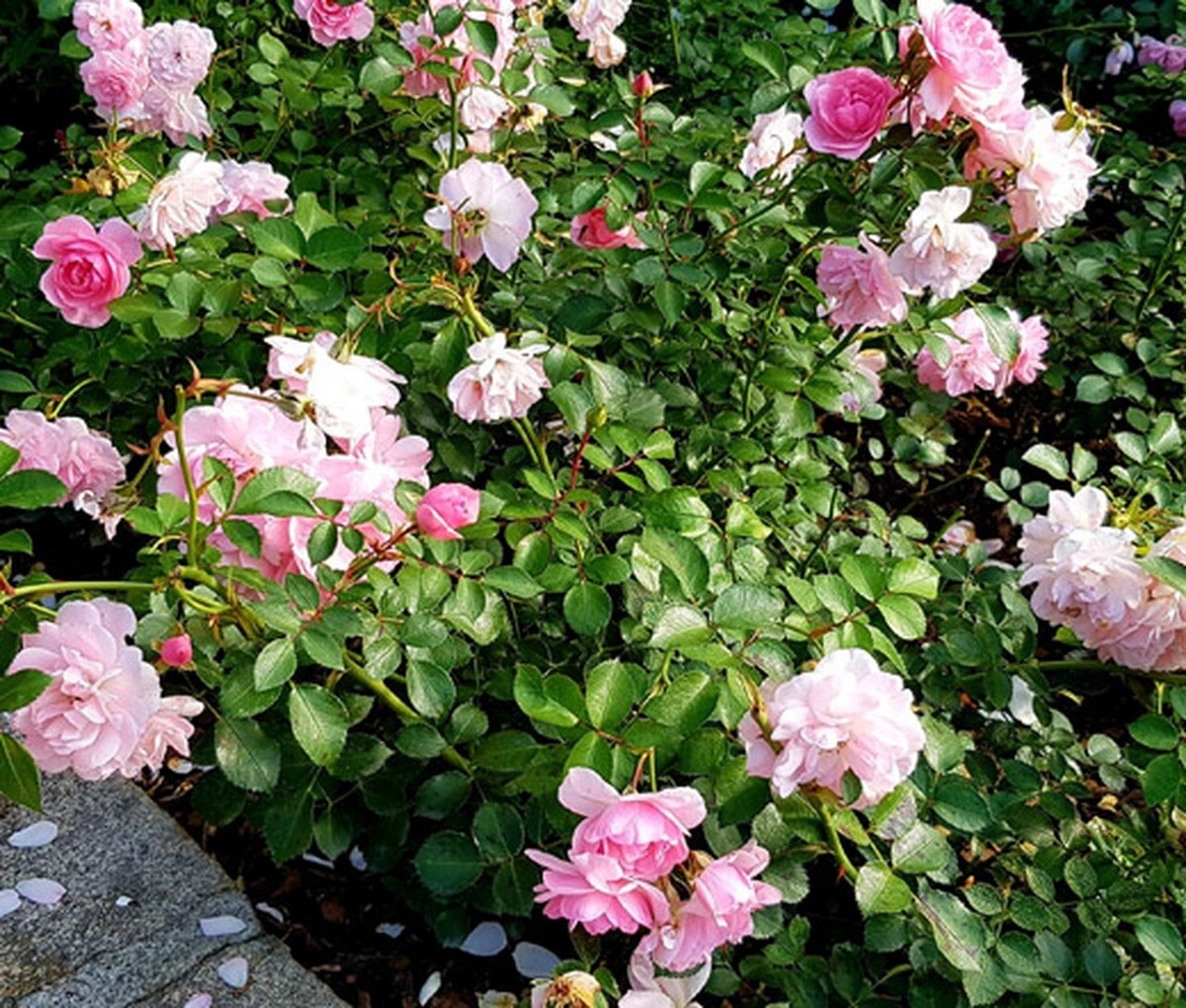 arbusto de hibisco