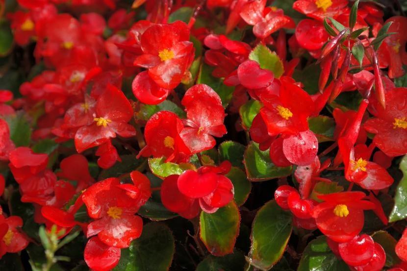 Ejemplares de Begonia semperflores