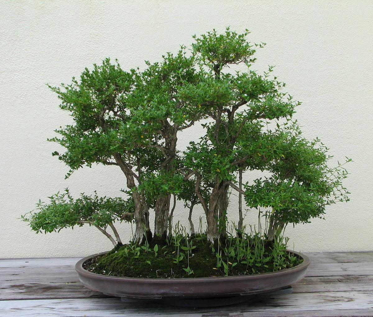 El bonsai de Serissa phoetida es fácil de cuidar