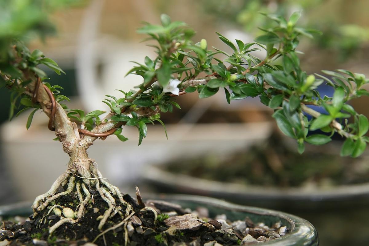 El bonsai de Serissa es bonito