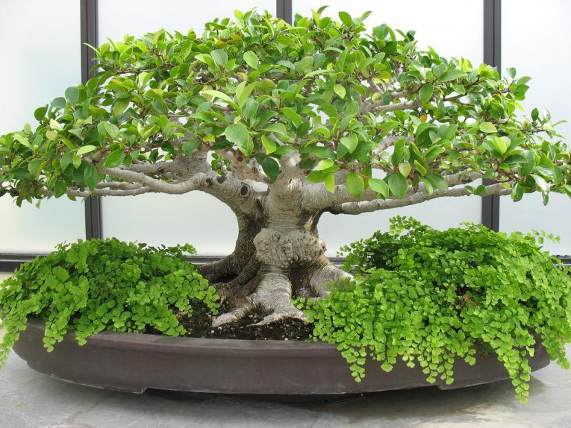 Bonsái de Ficus