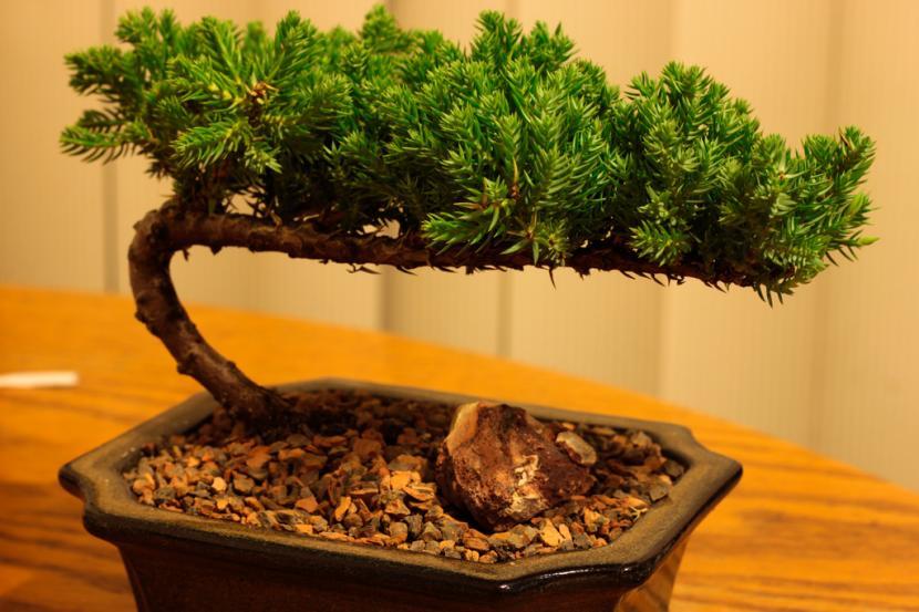 Bonsái de Pinus